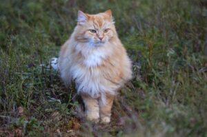 Referenční hodnoty: norská lesní kočka