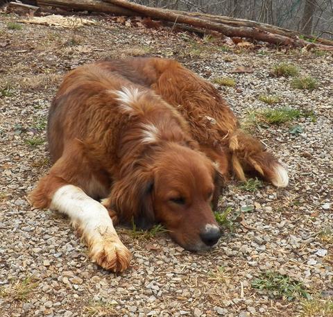 KONSENZUS ACVIM: Lymská borelióza u psů a koček (aktualizace).