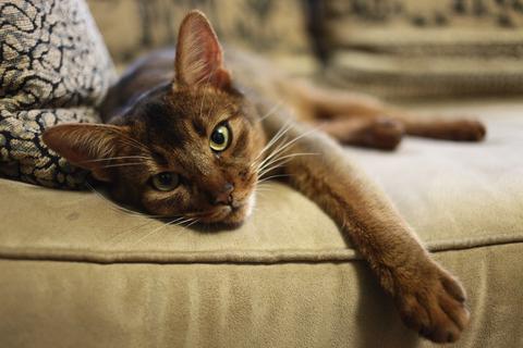 Referenční hodnoty: habešská kočka