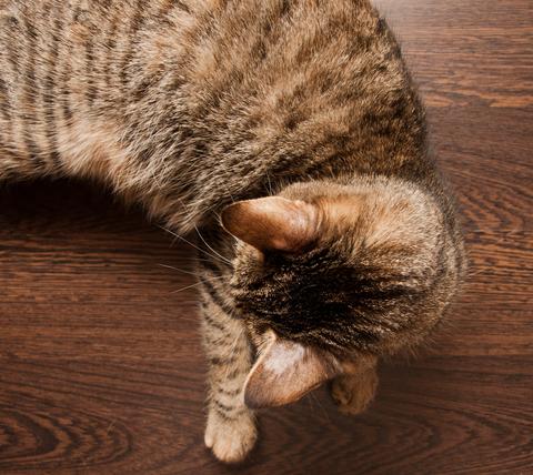 KONSENZUS WAVD: diagnostika a terapie dermatofytózy u psů a koček.