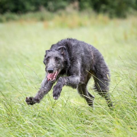 Referenční hodnoty: skotský jelení pes