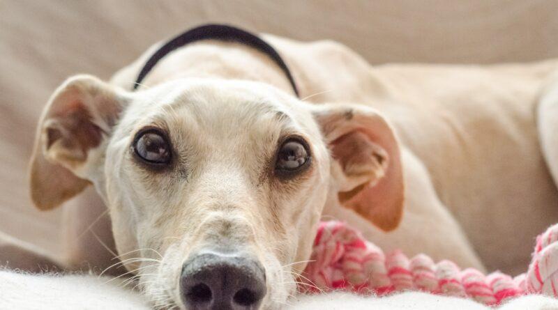 Referenční hodnoty plemen pro testování štítné žlázy u psů